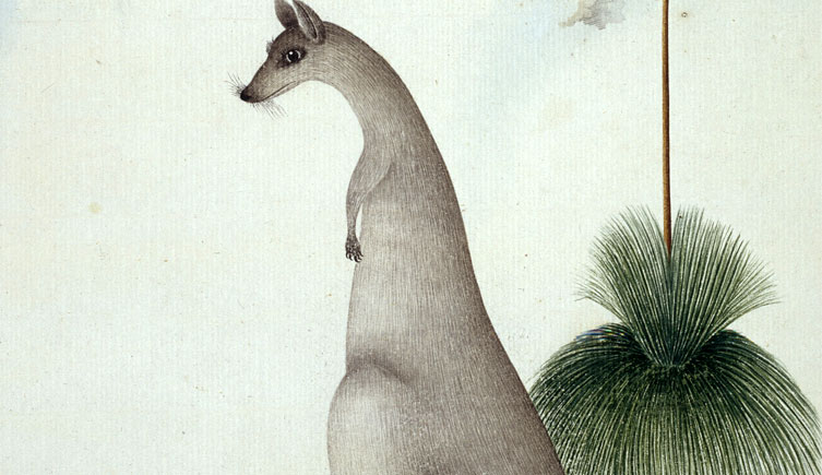 <i>Macropus giganteus</i> and <i>Xanthorrhoea sp.</i>
