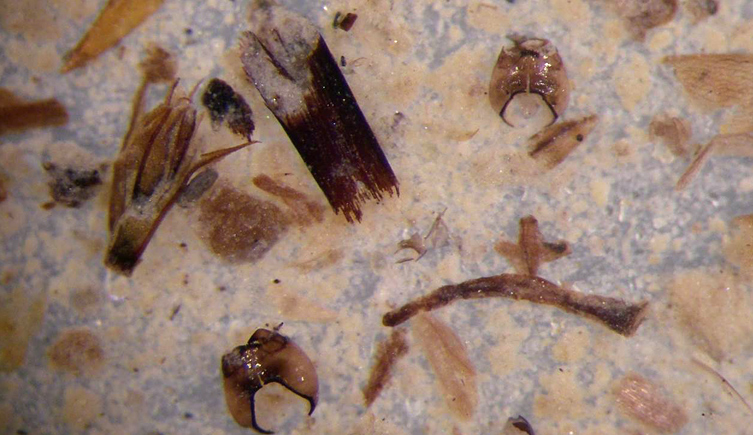 Chironomids preserved in lake sediments