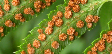 Sori of sword fern, Polystichum munitum