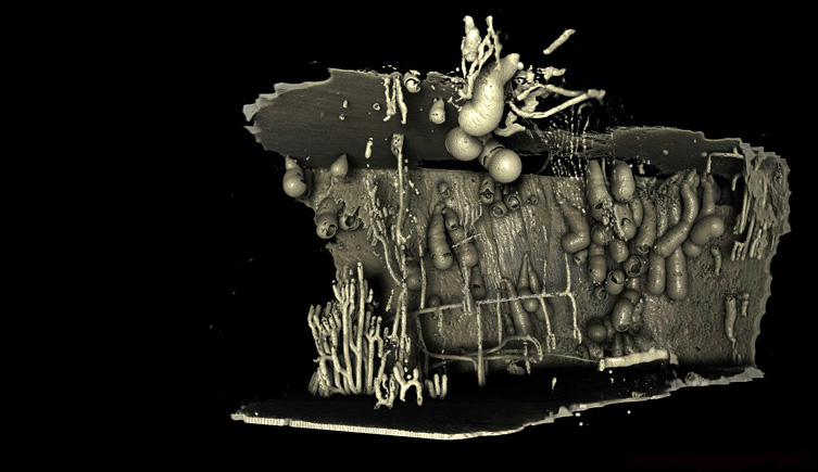 Deep-sea shipworms revealed by micro-CT scans