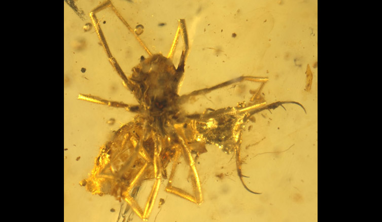 A preserved spider was found preying on a nymph larva