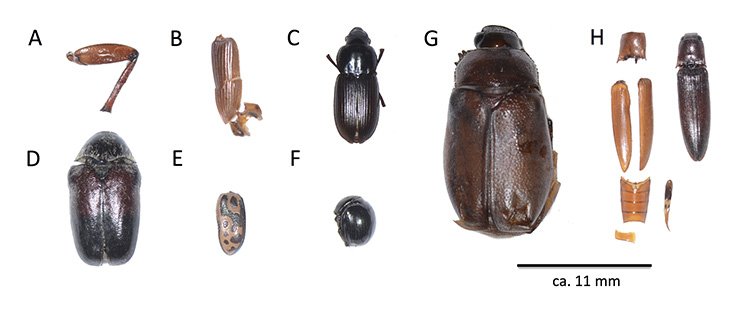 Fragments of beetles, labeled alphabetically
