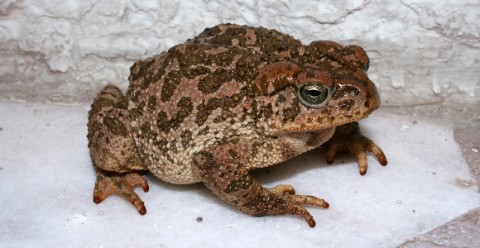 A Mexican pine toad