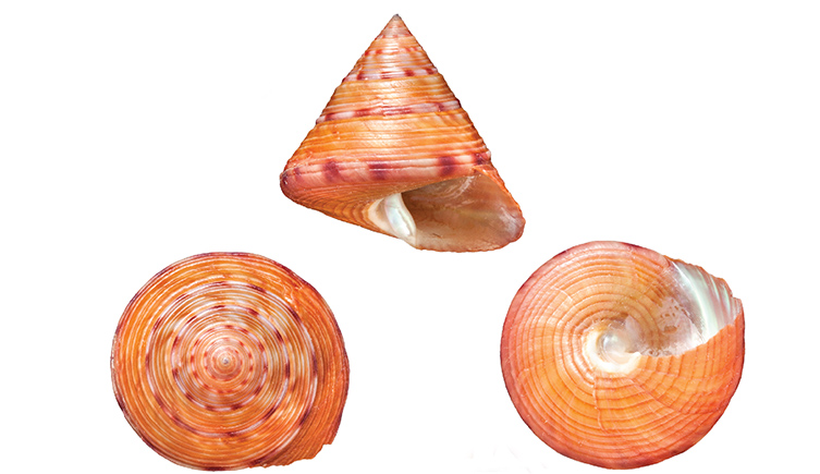 Three views of a Calliostoma zizyphinum snail shell