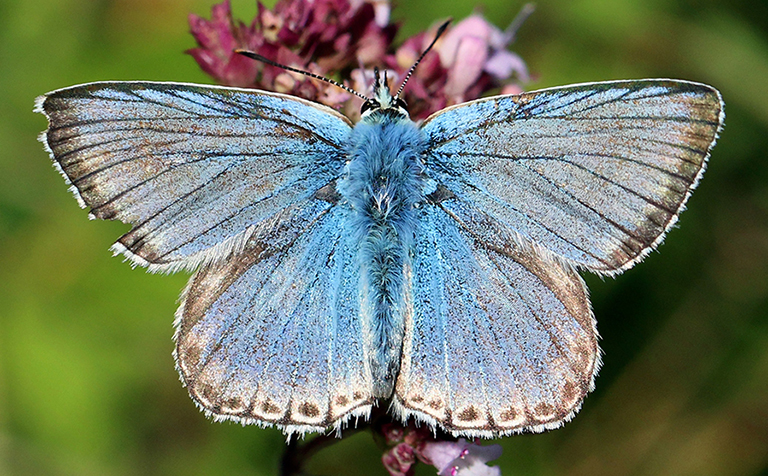 Butterflies emerging earlier due to rising temperatures