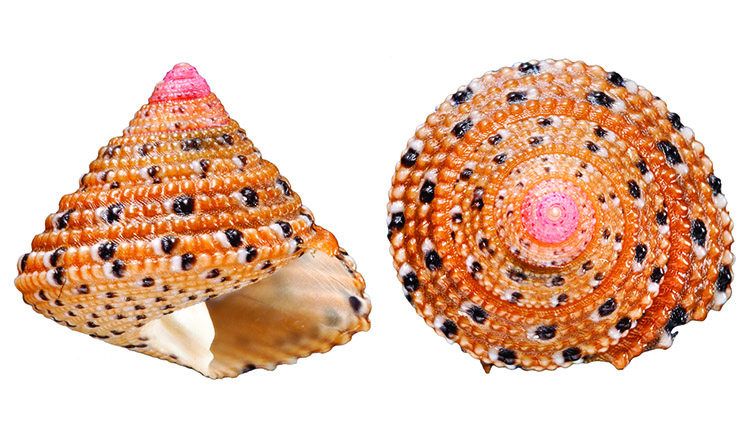 Two views of a Clanculus margaritarius shell