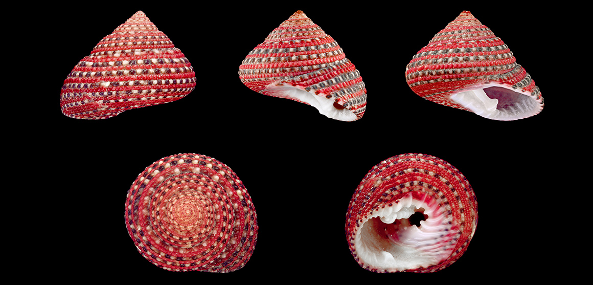 Clanculus pharaonius snail shells from five different angles