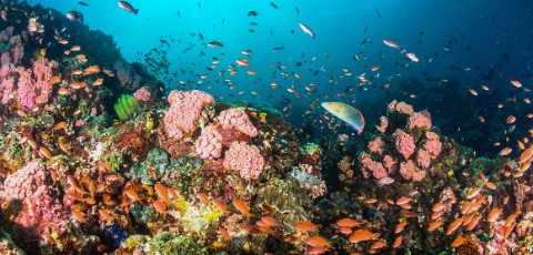 Tropical fish swim in front of colourful coral