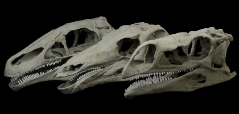 The three dinosaur skulls used in the study
