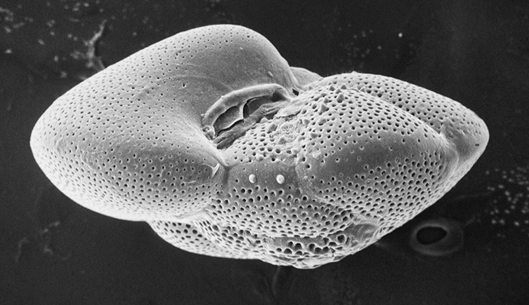 Foram fossil viewed through a scanning electron microscope
