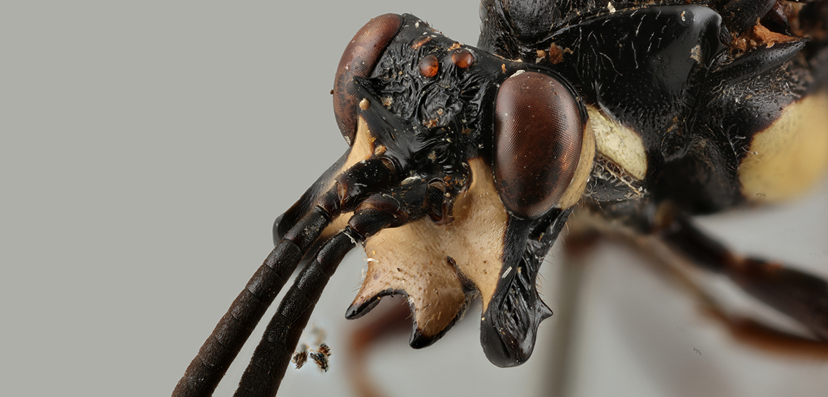 Close-up of Genaemirum phacochoerus head
