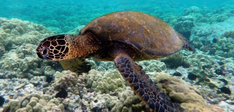 Green turtle swimming over corals