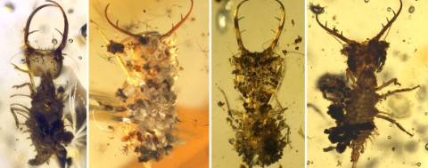 Some of the larvae preserved in amber