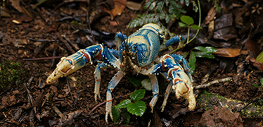 Blue Lamington crayfish