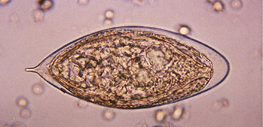 Europe parasite outbreak source traced using Museum specimens