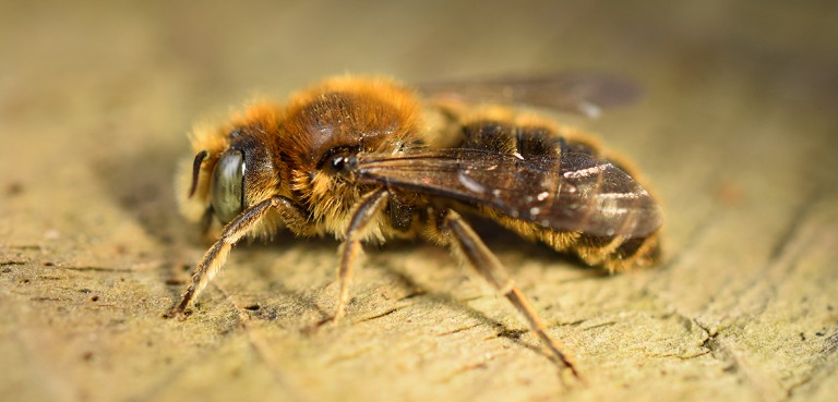 5a28d2e35d87 New bee species breeding in Britain