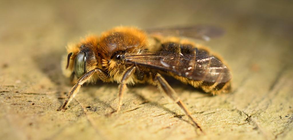 New bee species breeding in britain natural history museum vipers bugloss mason bee hoplitis adunca freerunsca Gallery