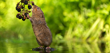 Britain's water vole population arrived in two waves