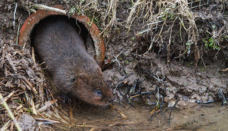 Water vole emerging from a tunnel