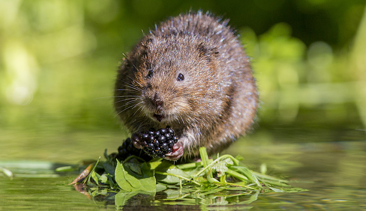 A water vole sitting on a bed of vegetation on shallow water, nibbling on a blackberry