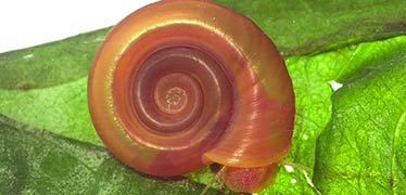 Snail genome provides clues to controlling devastating disease