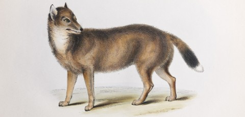 Illustration of the Falkland Islands wolf