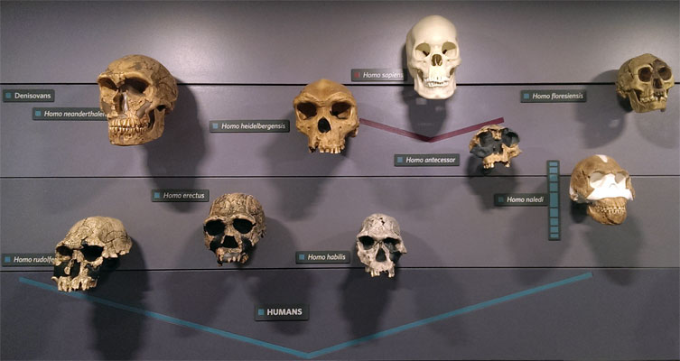 Human skulls on the wall of the Museum's Human Evolution gallery