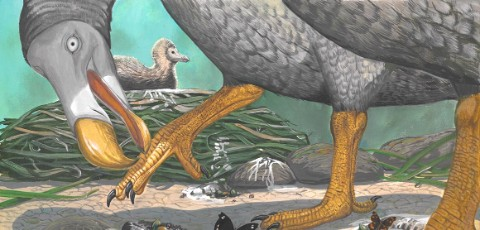 A modern reconstruction by Dr Julian Hume of how a dodo might really have looked