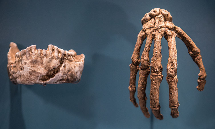 Homo naledi jaw and hand