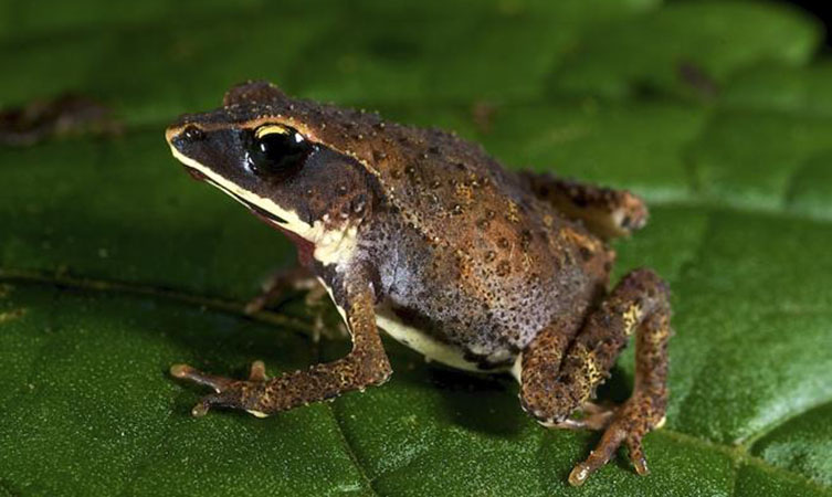 African toad, Nectophrynoides poyntoni