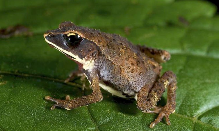 Why some toads don't have tadpoles | Natural History Museum