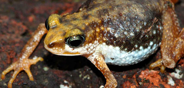 Nimbaphrynoides toad