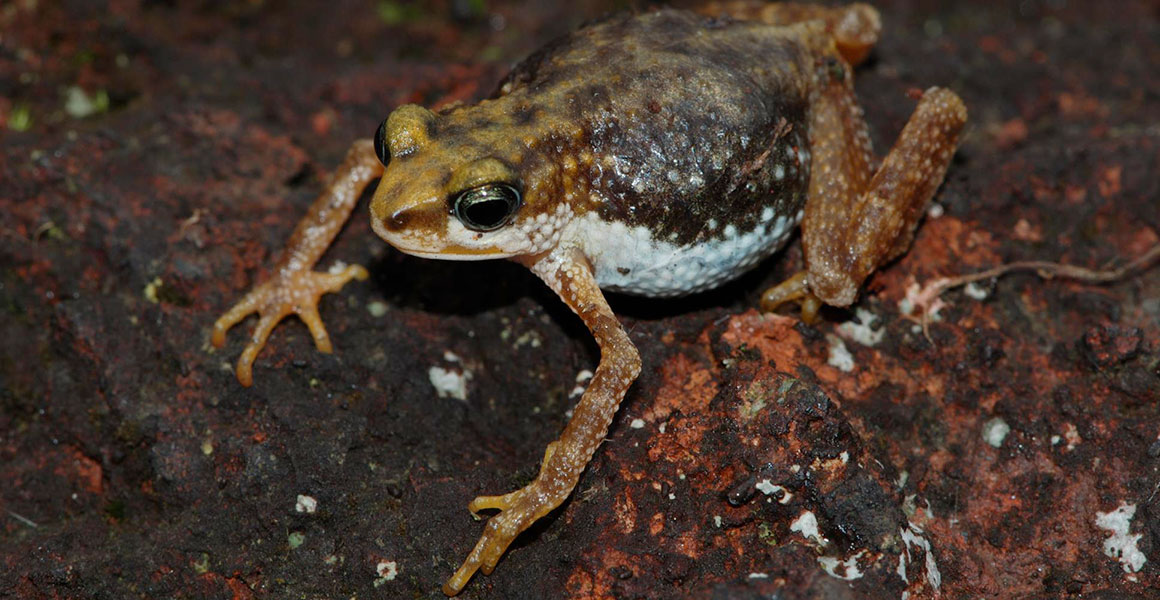 Nectophrynoides poyntoni toad