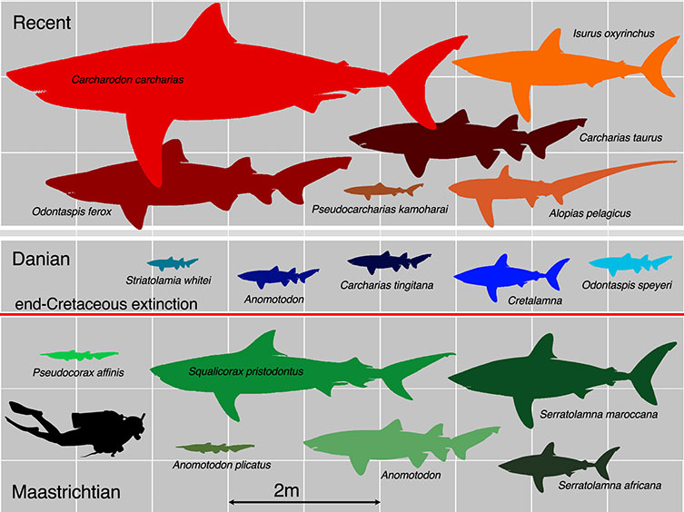 Chart showing the relative sizes of extinct and living sharks