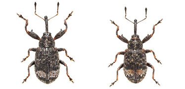 Anthonomus spilotus beetles