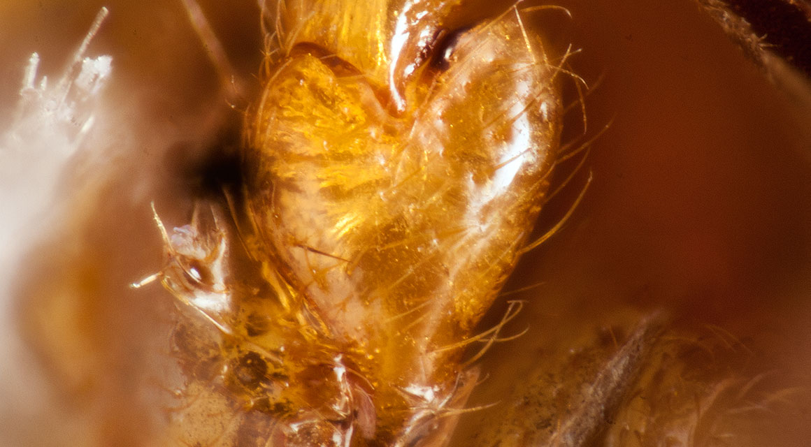 Close-up of the heart-shaped leg joint of Ivierhipidius beetle