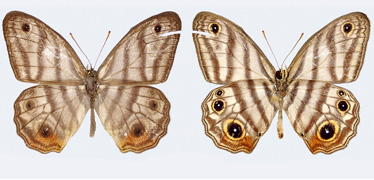New butterfly species named after Sir David Attenborough