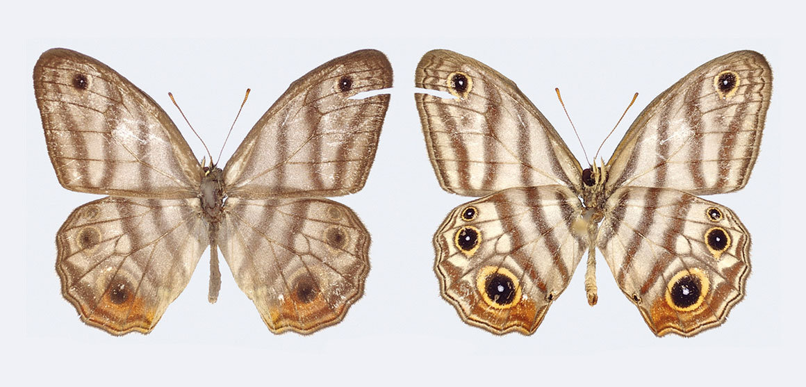 The black-eyed satyr, Euptychia attenboroughi