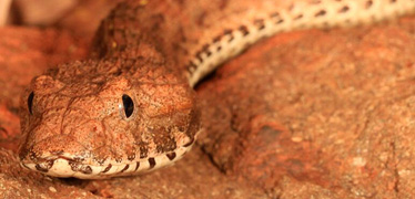 "<a href=""/content/nhmwww/en/home/our-science/science-news/2015/august/new-highly-venomous-snake-species-discovered-in-australia.html"">New highly venomous snake species discovered in Australia</a>"