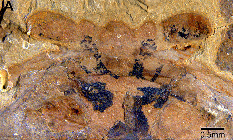 Fuxianhuia protensa fossilised neural tissue close view