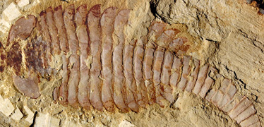 Brain fossils break new ground in palaeontology