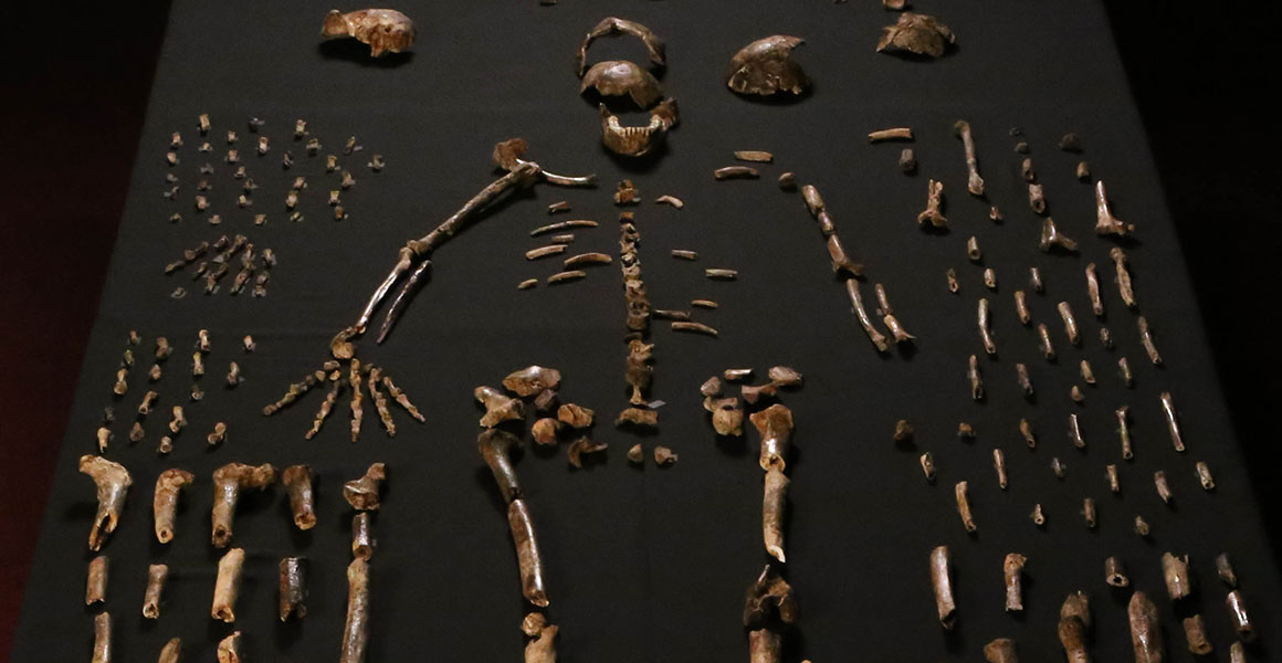 Fossils of Homo naledi laid out