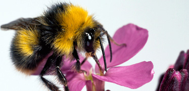 Research into species traits could help save Europe's dying bees