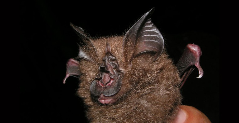 New Bat Species Found In Museum Collection