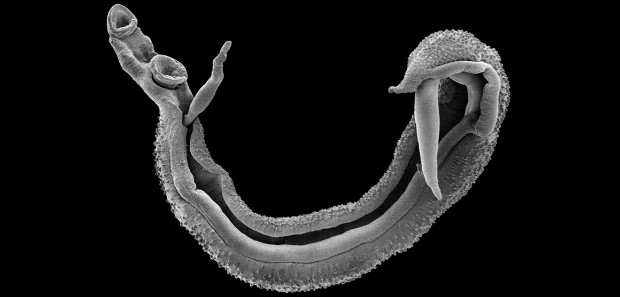 Fluke Parasite >> The Brain Worm That Turns Ants Into Zombies Natural