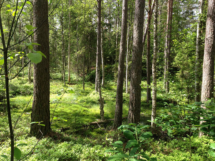 Swedish forest at the site where scientists located fossilised midges from an ancient lake