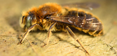 New bee species breeding in Britain