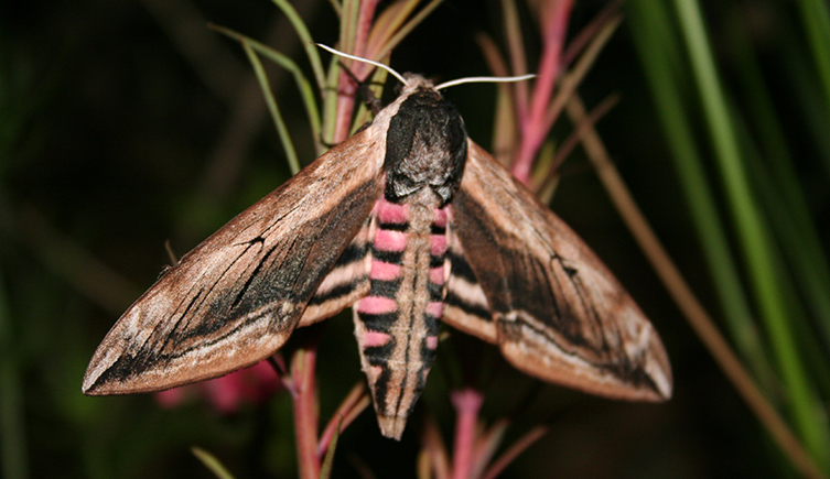 privet-hawkmoth-copyright-protected-two-column