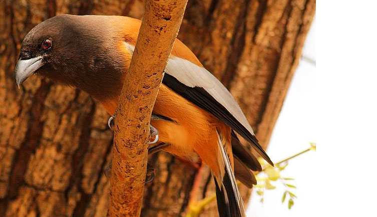 Rufous treepie, a passerine bird from the Indian Subcontinent and Southeast Asia.