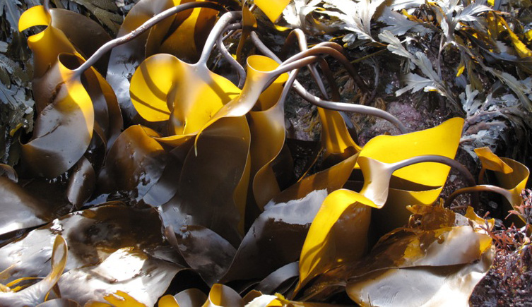 Seaweed close-up view